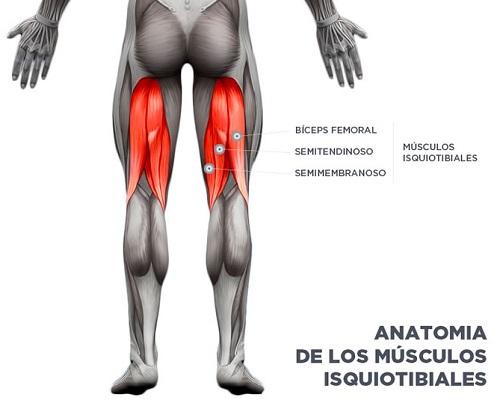 Anatomía musculatura isquiotibial